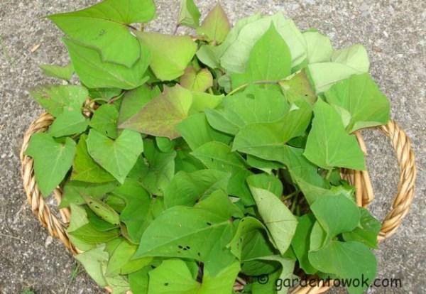 sweet potato vine (07902)