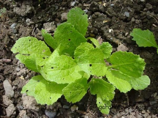 napa seedlings (07917)