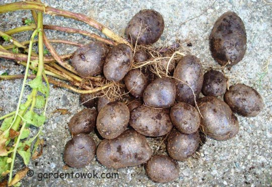 blue potatoes (07991)