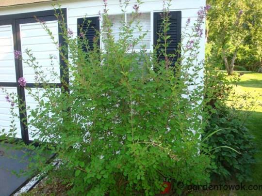 Bloomerang Lilac (07997)