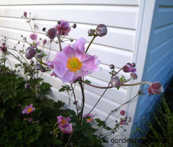 Japanese anemone (08024)