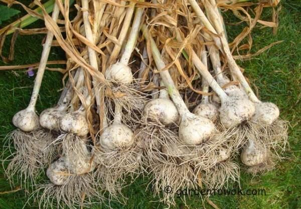 German white garlic (08041)
