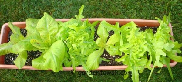 lettuce (08076)