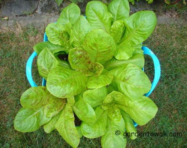Forellenschluss lettuce (08082)