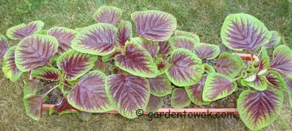tri-color amaranth (08090)