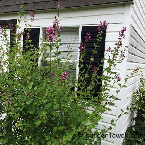 Bloomerang Lilac (IMG_0876)