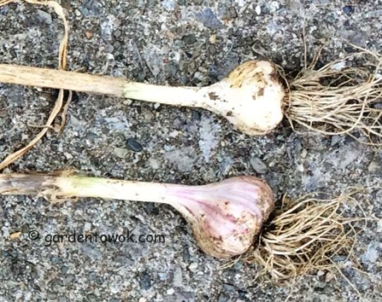 duganski garlic (IMG_0887)