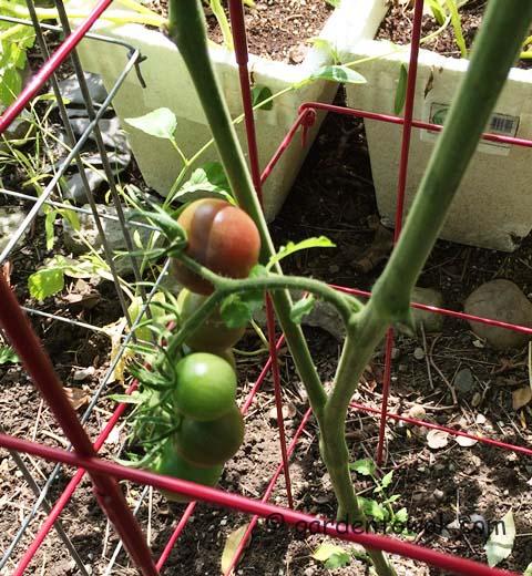 black cherry tomato (IMG_0933)