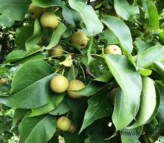 asian pear (IMG_0935)