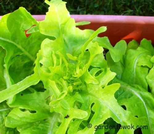 oak leaf lettuce (08073)
