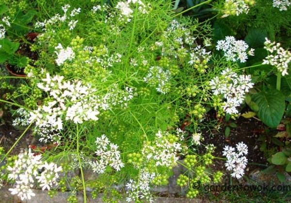 cilantro flowers (08140)