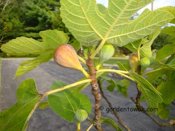 figs (08175)
