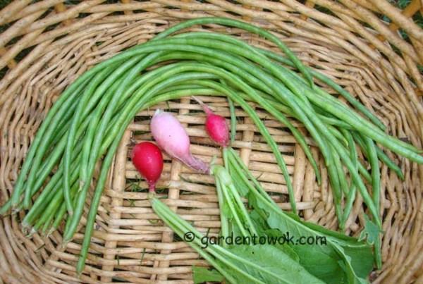 asparagus beans & radish (08179)