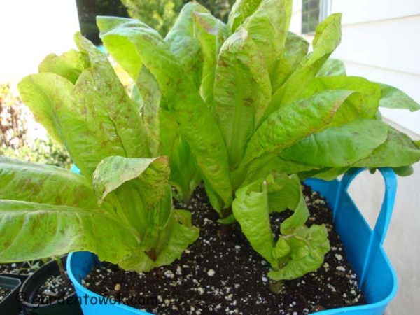 forellenschluss lettuce (08185)