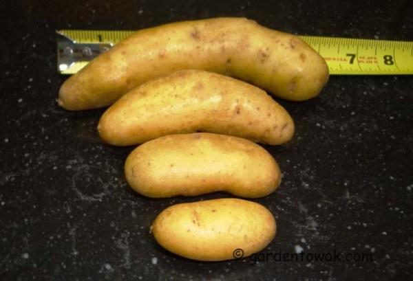 fingerling potato (08223)