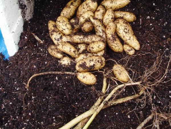 fingerling potato (08276)