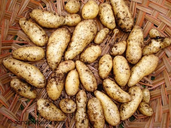fingerling potato (08278)