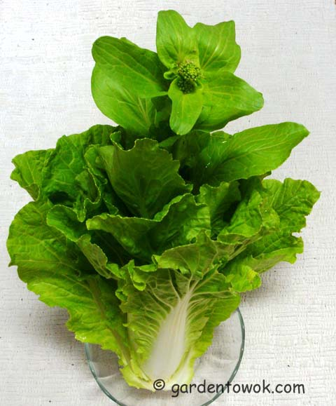 bolted napa cabbage (08288)