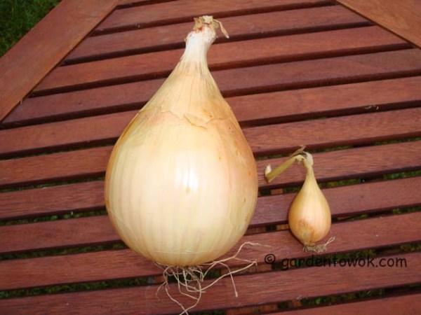 alisa craig onion (08299)