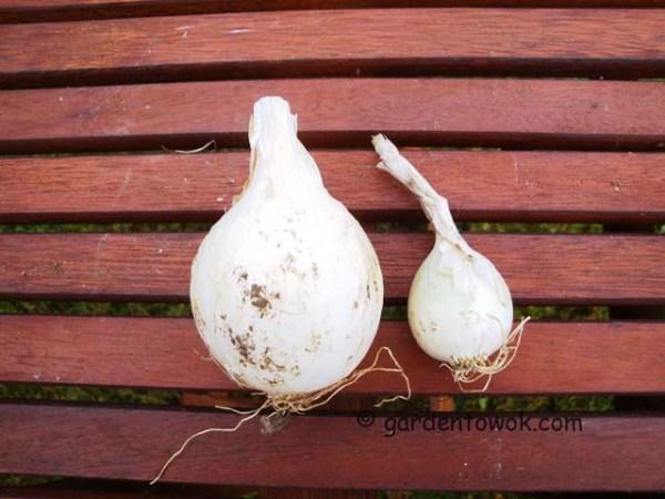 southport white globe onion (08314)