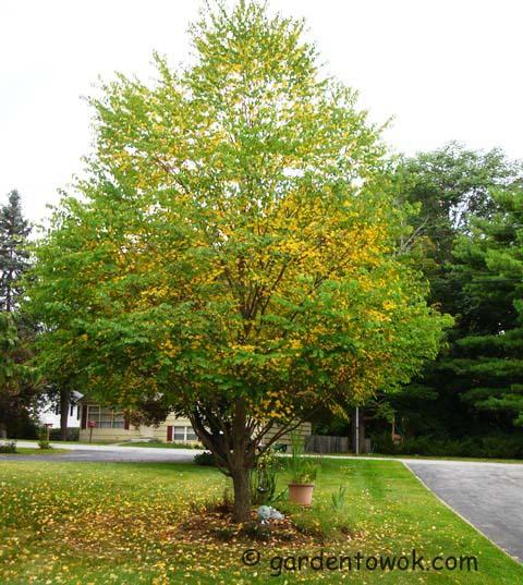 katsure tree (08328)