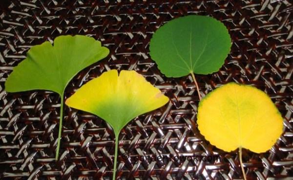 gingko & katsura leaves (08330)