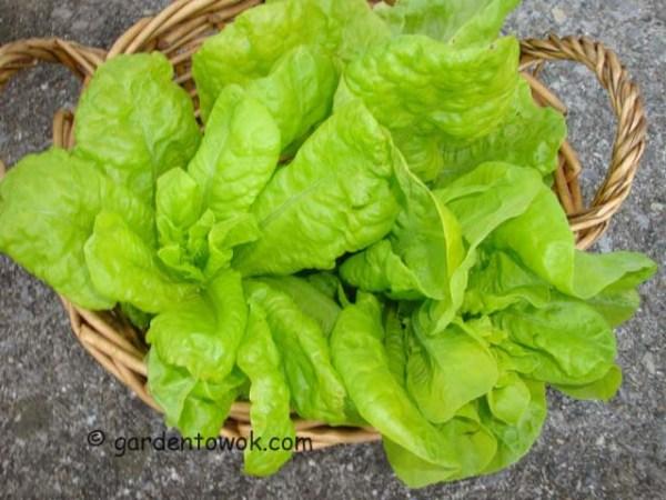 lettuce (08406)