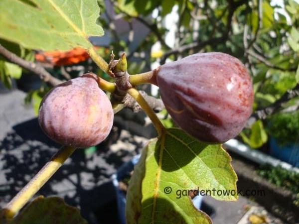 figs (08415)