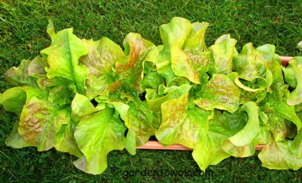 container grown lettuce (08437)
