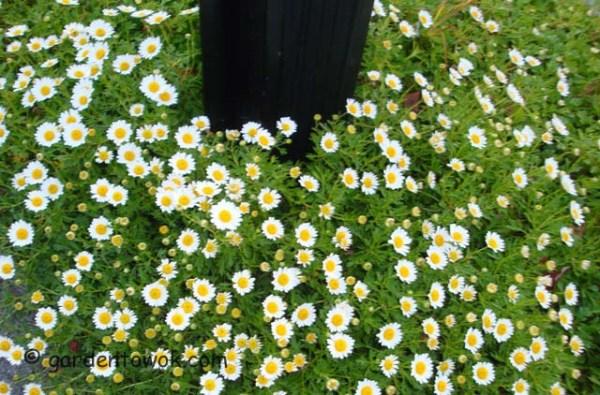 fall blooming daisies (08424)