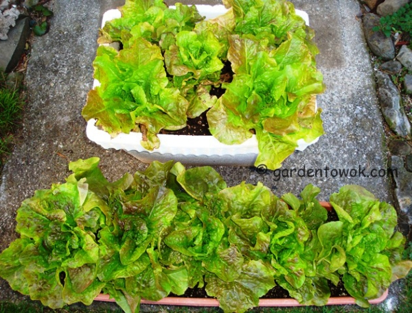 container grown lettuce (08469)