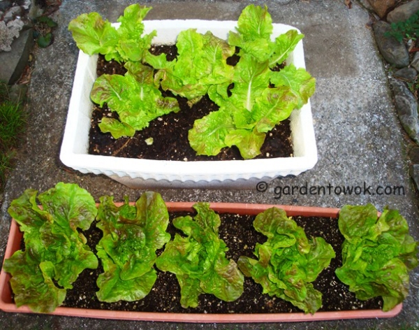 container grown lettuce (08472)