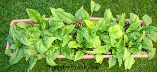 container grown bloomsdale spinach (08480)