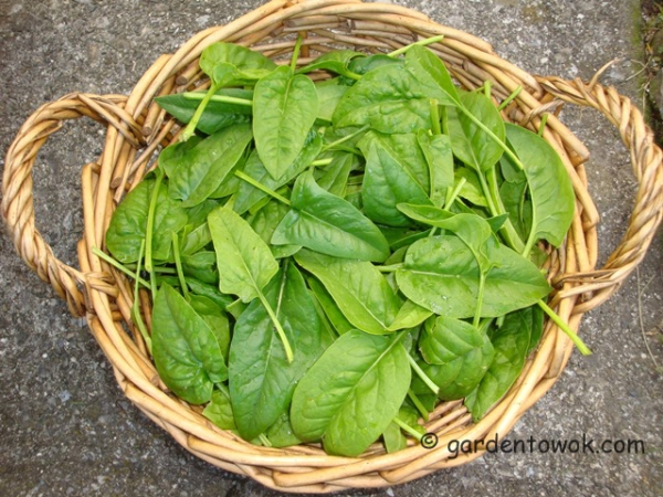 bloomsdale spinach (08491)