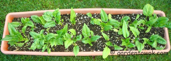 container grown bloomsdale spinach (08497)