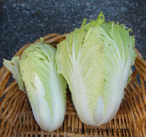 napa cabbage (08529)