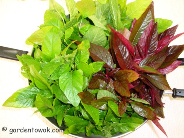 red & green amaranth (08531)