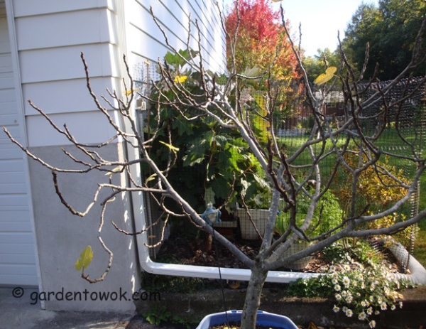 container fig tree (08537)