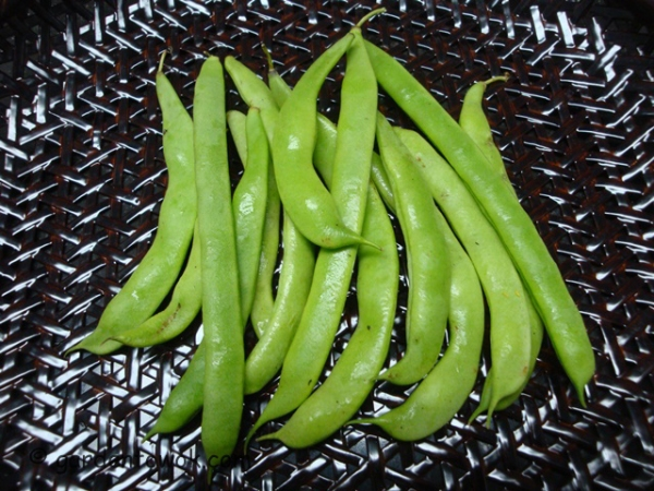 Kentucky wonder pole beans (08565)