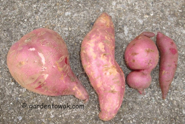 purple sweet potatoes (08599)