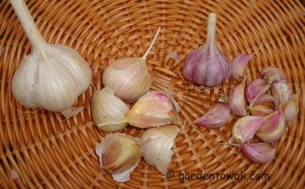 garlic (08602)