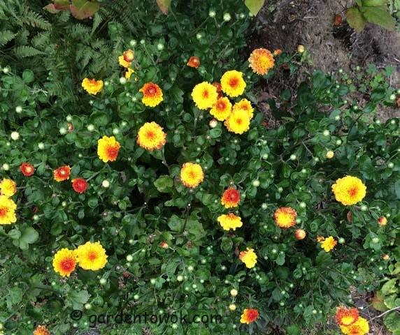 chrysanthemums (IMG_1001)
