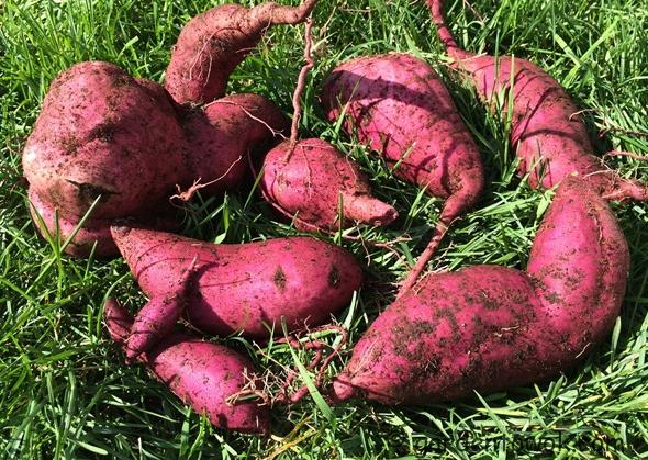 2015-1011_1138 IMG_3831sweet potato