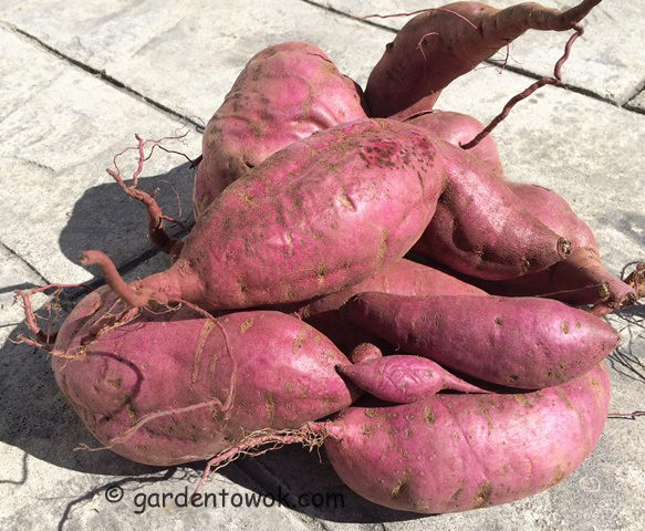 how to grow sweet potatoes in a container australia