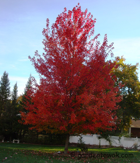 seeddless red maple (08622)