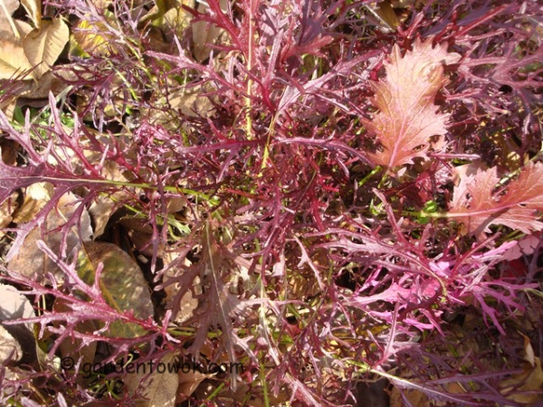 ruby streaks mustard (08682)