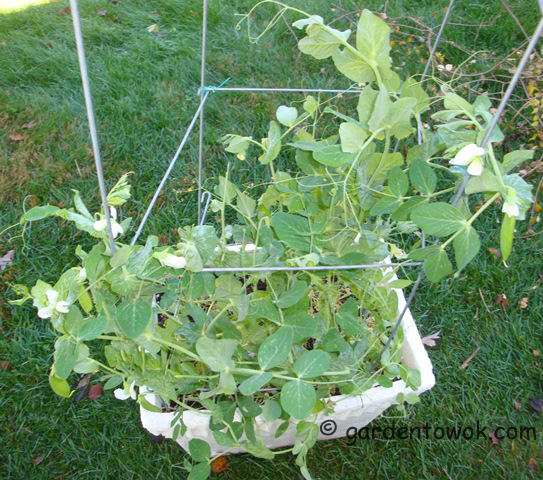 container snow peas (08732)