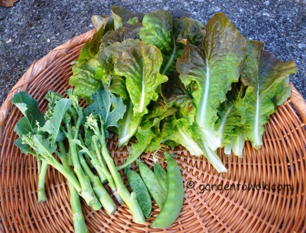 lettuce (08743)
